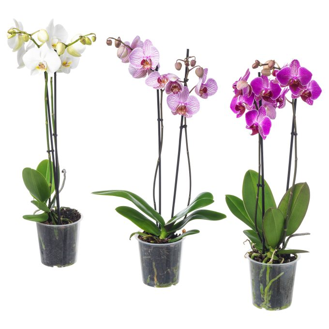 PHALAENOPSIS potted plant, Orchid/2 stems | IKEA Greece